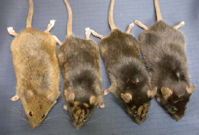 transgenic white mice